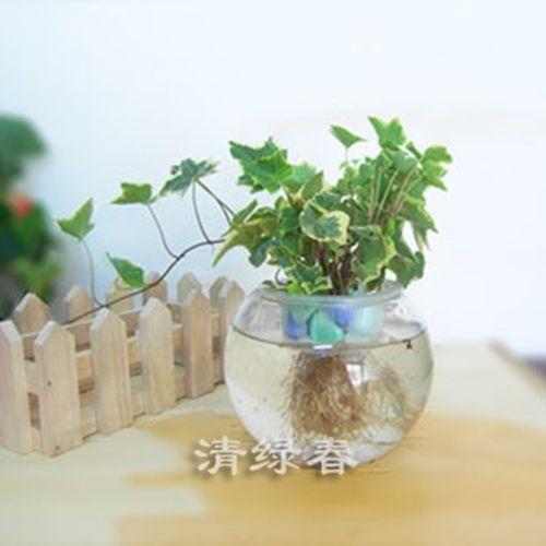 水培常春藤(3)