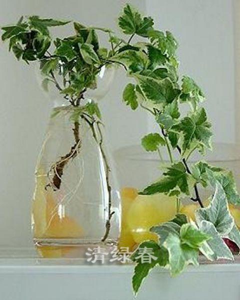 水培常春藤(2)