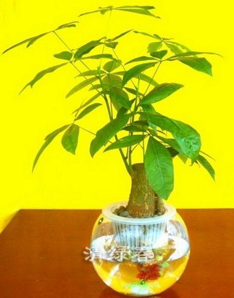 水培发财树
