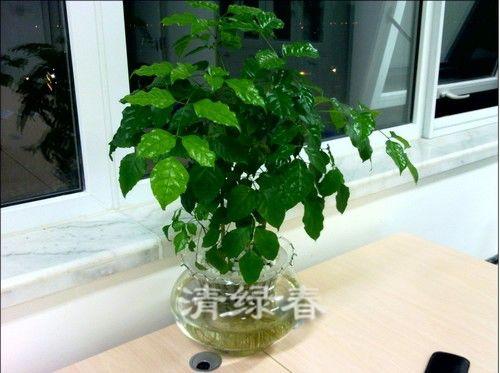 水培幸福树