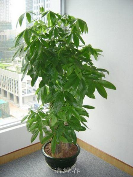 青龙盆三层发财树