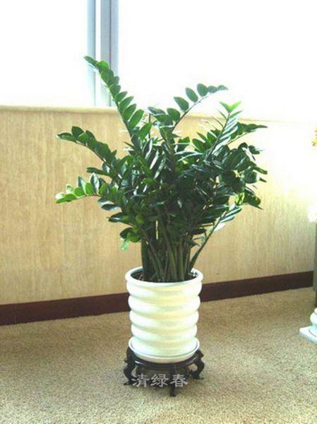 白盆金钱树